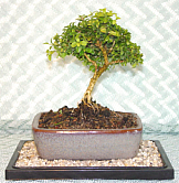 Sleepy Hollow Bonsai Care Basics