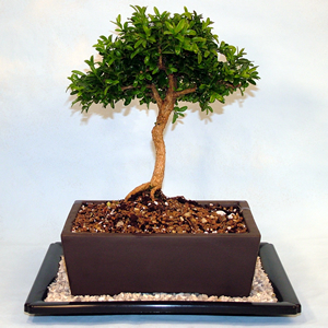 Growing your Boxwood Bonsai