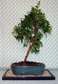 Growing your Brush Cherry Bonsai