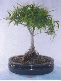 Growing your Ficus Bonsai