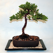 Growing your Juniper Bonsai