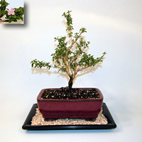 Growing your Serissa Bonsai